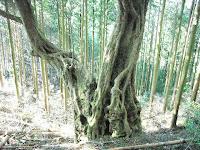 アカガシ大木の幹