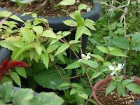 コジキイチゴ開花