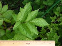 トヨラクサイチゴ実生の葉2