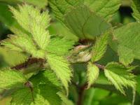 エビガライチゴの脇芽