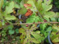モミジイチゴ冬芽