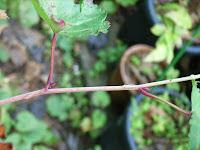 ヒメカジイチゴ冬芽