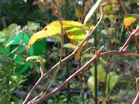 トヨラクサイチゴ冬芽
