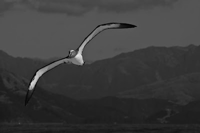 Black+and+White+Albatross.jpg