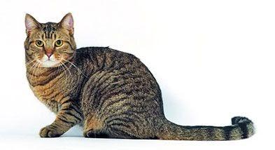 El gato de casa razas de gatos comunes europeos - El gato en casa ...