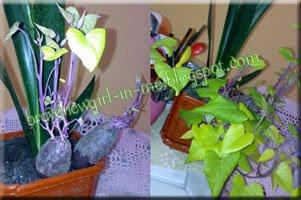 ubi jalar tumbuh di pot bunga