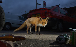 White rage and fat foxes by Emma Dent Coad