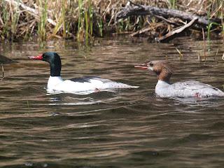 ontario duck