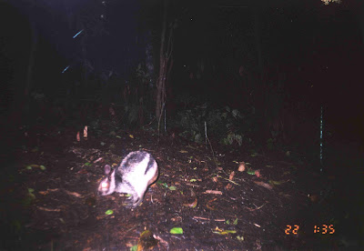 Rare Sumatran striped rabbit