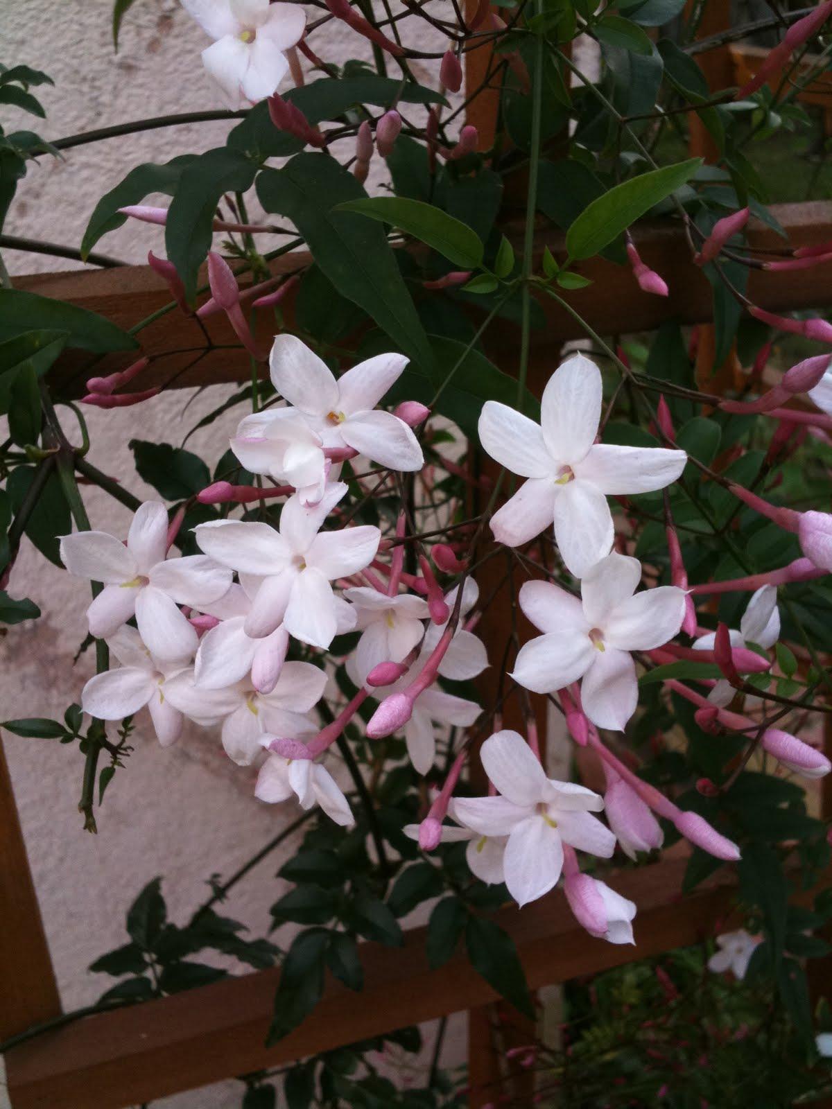 комнатный цветок жасмин многоцветковый формировать дружеские