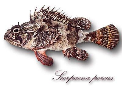 Rascacio (Scorpaena porcus) Scorpaena_porcus