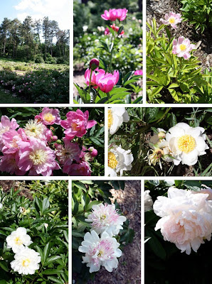 Peony Garden at Matthei Botanical Garden