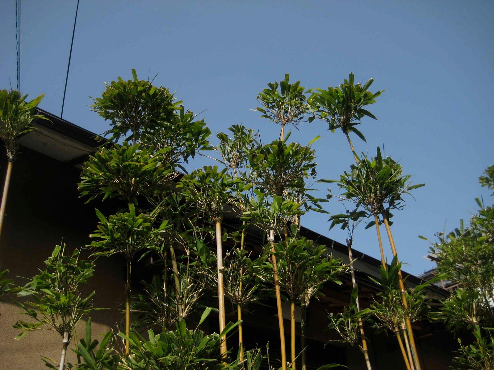 Chronique du jardin de la patrie la taille du bambou - Jardin de bambou cannes ...
