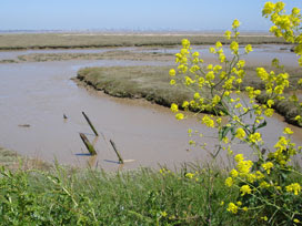 salt marsh at the Naze