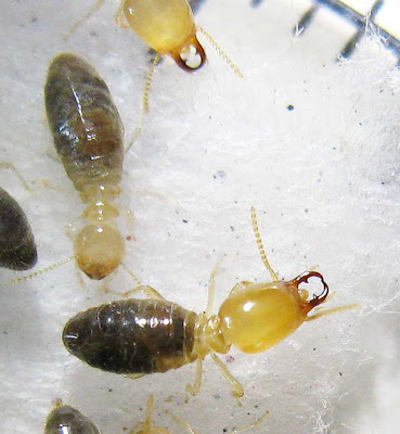Top view of a soldier and worker of Amitermes dentatus