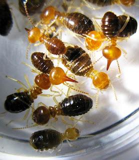 Nasutitermes termite