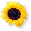 Einsame Sonnenblume