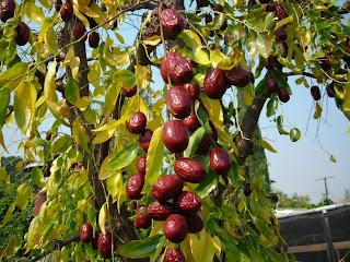 http://4.bp.blogspot.com/_O_gehG4991Q/S61N2EQs0VI/AAAAAAAAB58/mzGzqfH3kXc/s1600/jujube-fruit1.jpg