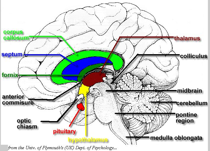Dr will mccarthys science site april 2010 a sagittal view cut in half of the brain to show the internal structures note in particular the hypothalamus and the pituitary gland ccuart Images