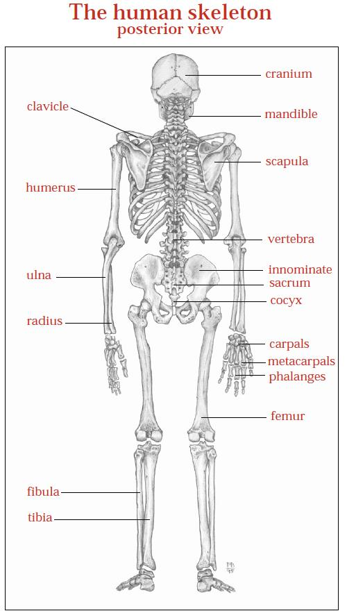 dr will mccarthy's science site: the skeletal system, Skeleton