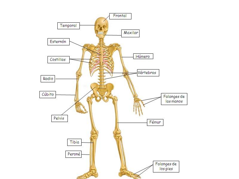 Cuerpo Humano Por Dentro Dibujo