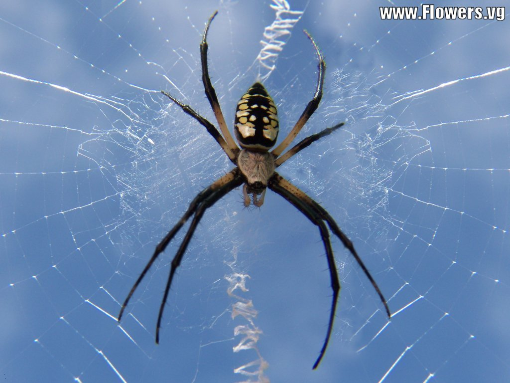 writing spider poisonous Facts about banana or golden orb spiders updated on october 3 which is an extremely venomous spider found in central and south america the writing spider.