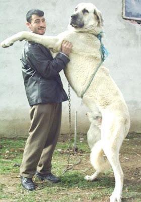 10 largest kangal dog kangal anatolian anatolian sheepdog turkish dog ...