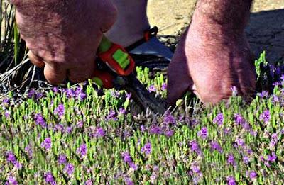 Harvesting Wild Thyme