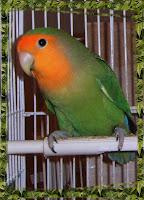 Roseicollis FA Verde D/ino