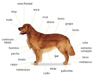 Dream Demarlock Caracter Sticas Sicas Del Golden Retriever