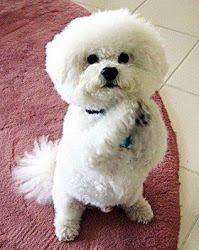 Skipper the Bichon Frise