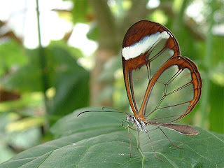 dd6742 Transparent Butterfly   Seeing is Believing