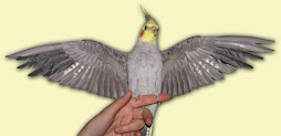 se a sua calopsita não é brava corte as asas dela see  não ela sai voando pela sua janela