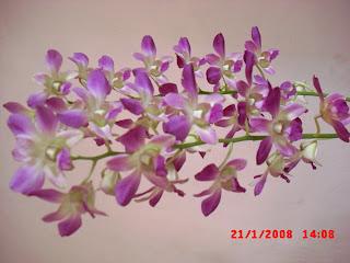 Bunga Anggrek Ungu b203053507