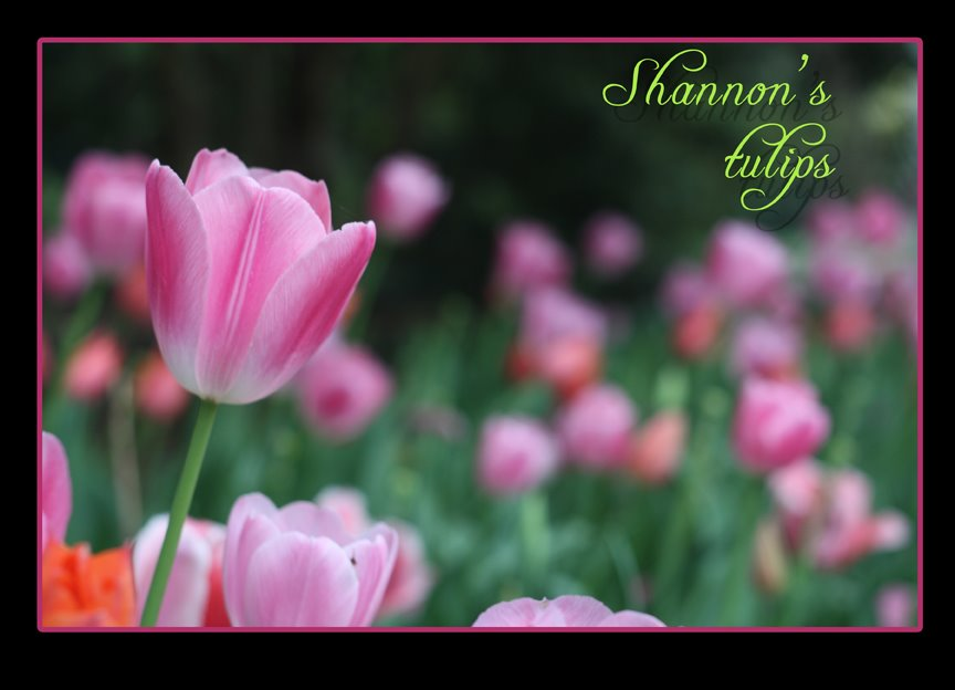 My niece Shannon's tulip photo