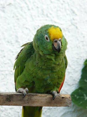 Loro verde con mechón amarillo en la cabeza