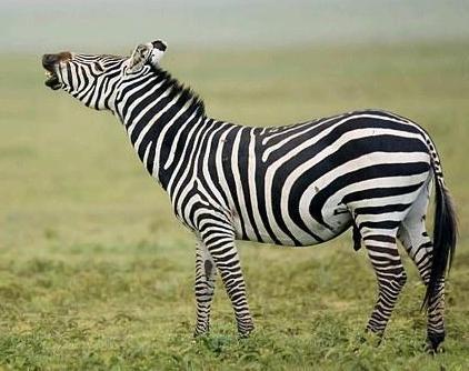 Cebra o zebra macho relinchando