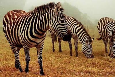 Cebras o zebras en invierno con neblina