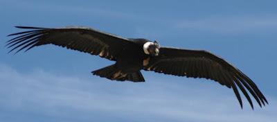 Condor en pleno vuelo