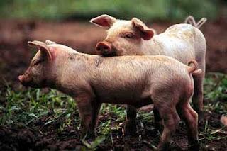 Foto de cerdos pequeños
