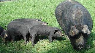 Cerdos negros (cerda con sus lechones)