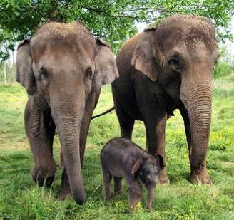 Foto de elefantes en familia (padres e hijo)