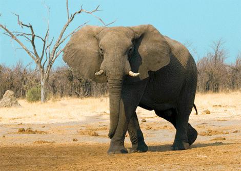 Elefante caminando en Africa