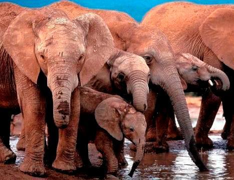 Elefantes en manada tomando agua