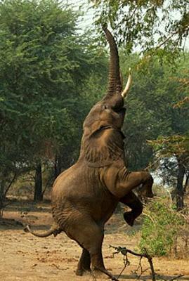 Foto de elefante parado en 2 patas