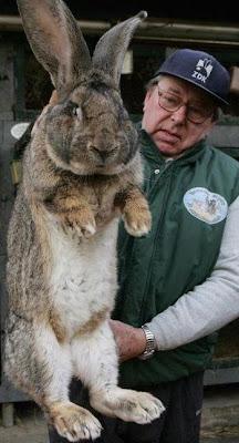 Foto de conejo enorme
