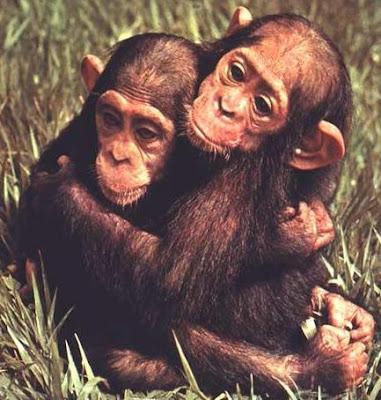 Chimpancés abrazados