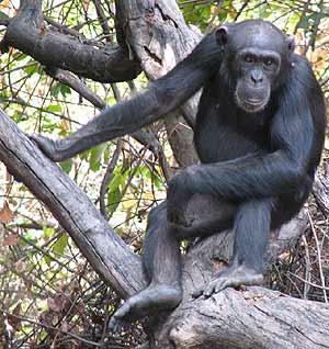 Foto del chimpancé