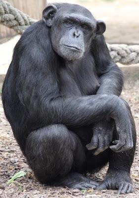 Mamá chimpancé