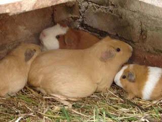 Cuy preñada con otras crias